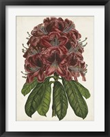 Framed Rhododendron Study II