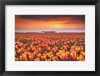 Framed Dramatic Tulips