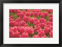 Framed Pretty Pink Tulips