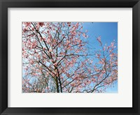 Framed Blossom Pink Trees