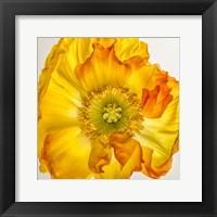 Framed Yellow Poppy 2