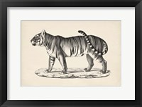 Framed Male Tiger