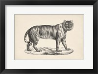 Framed Female Tiger