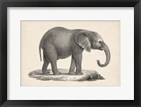 Framed Young Elephant