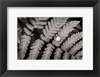 Framed Oak Fern