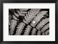 Framed Oak Fern