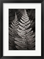 Framed Lady Fern I