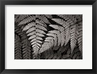 Framed Lady Fern II