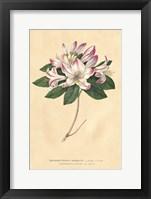 Framed Rhododendron Vintage
