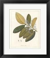 Framed Botanical Heritiera v2
