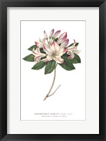 Framed Rhododendron Bright