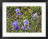 Framed Bearded Iris in the Sunshine