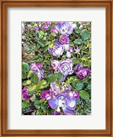 Framed Climbing Lilac Rose