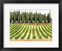 Framed Cypresses and A Vineyard In Umbria