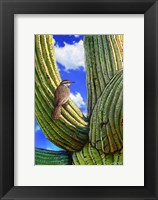 Framed Cactus Wren