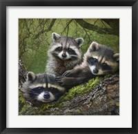 Framed Raccoons As Art