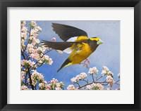 Framed Grosbeak Flight Male