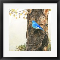Framed Mountain Bluebird On Dead Aspen