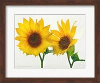 Framed Two Sunflowers