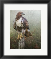 Framed Hawk And Barbed Wire