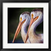 Framed Pelican Portrait