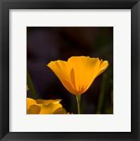 Framed Wildflowers Poppy Arizona 1