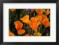 Framed Wildflowers Poppy Arizona 2