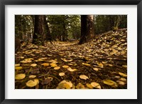 Framed Aspen Leaves Bismark Trail Arizona Mtns