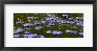 Framed Field Of Asters Colorado Mtns