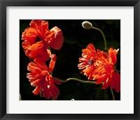 Framed Sante Fe Bright Red Poppies