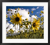 Framed Sunflowers Arizona