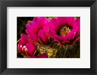 Framed Prickly Pear Cactus Arizona Desert Horizontal