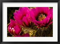Framed Prickly Pear Cactus Arizona Desert Horizontal