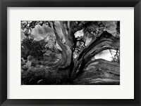 Framed Sedona Juniper Tree