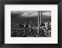 Framed Saguaros Superstition Mtns Arizona