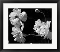 Framed New Mexico? Poppies