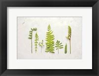 Framed Flat Lay Ferns II