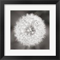 Framed Dandelion Seedhead