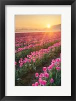 Framed Skagit Valley Tulips II