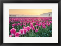 Framed Skagit Valley Tulips I