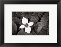 Framed Bunchberry and Ferns I BW