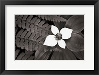 Framed Bunchberry and Ferns II BW