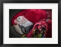Framed Red Ara Parrot