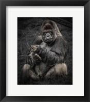 Framed Male Gorilla