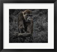 Framed Gorillas