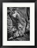 Framed Male Rhino Black & White