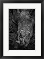 Framed Male Rhino 2 Black & White