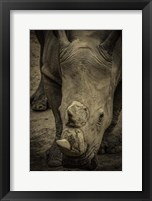 Framed Male Rhino 2