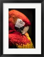 Framed Red Ara Parrot 2