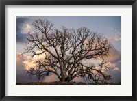 Framed Grand Oak Tree II